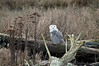 Snowy-owl-7