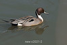 Northern-pintail-duck