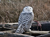 Snowy-owl-with-kill-2