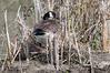Canada-goose-on-nest