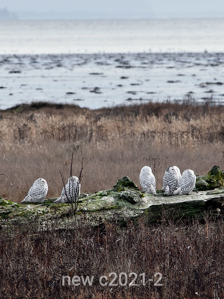 Gathering-of-snowy-owls
