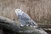 Snowy-owl-Delta-dyke-1