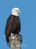Eagle-on-telephone-pole