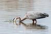 Great-blue-heron-fishing