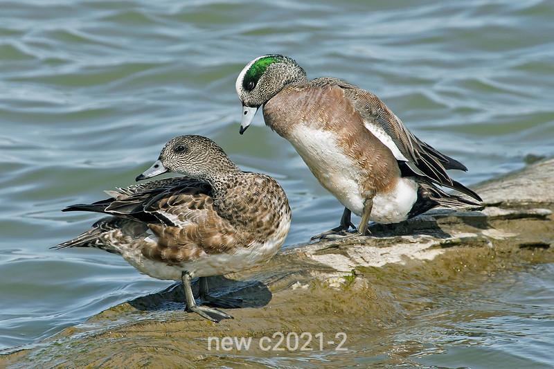 American-wigeon-pair