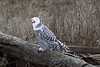 Snowy-owl-open-mouth-2