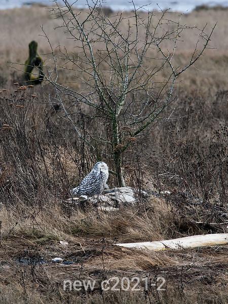 Snowy-owl,-wildflowers-&-tree--2