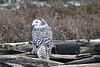Snowy-owl-with-kill-6