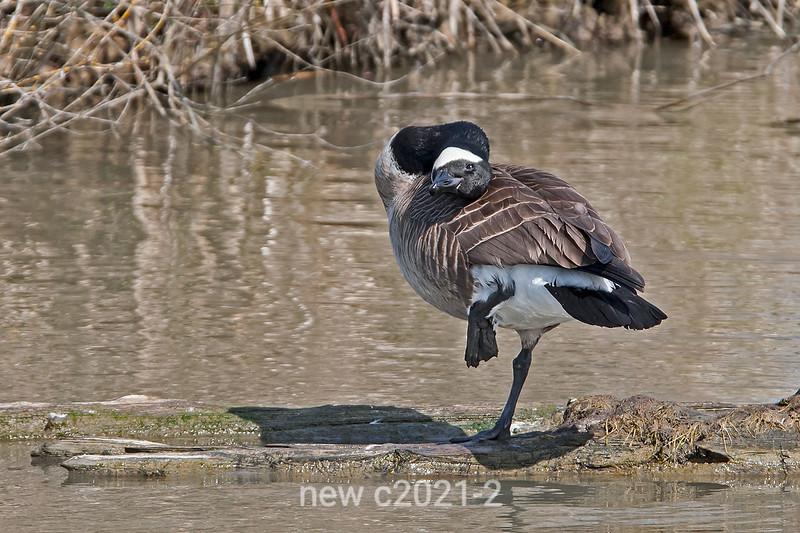 Canada-goose-1