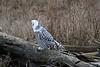 Snowy-owl-open-mouth-3