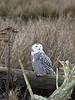 Snowy-owl-8