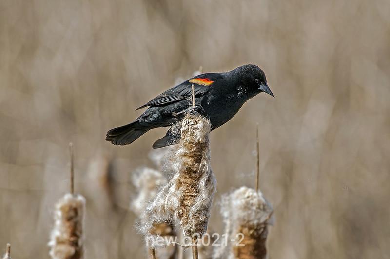 Red-winged-blackbird-on-cattails-2