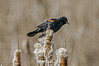 Red-winged-blackbird-on-cattails-2