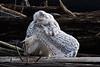 Snowy-owl-in-convoluted-grooming-position-2