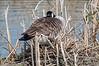 Nesting-Canada-goose