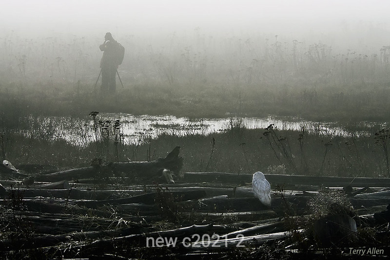Photographing-snowy-owl-in-early-morning-fog