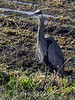 Giant-blue-heron-2