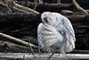 Snowy-owl-grooming-feathers-1