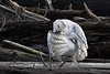 Snowy-owl-grooming-feathers-2
