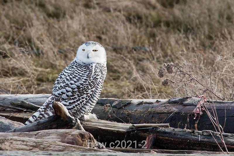 Snowy-owl-with-kill-3