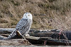 Snowy-owl-with-kill-3