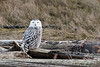 Snowy-owl-with-kill-4