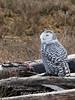 Snowy owl with kill