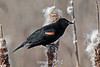 Red-winged-blackbird-on-cattails