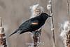 Red-winged-blackbird-on-cattails
