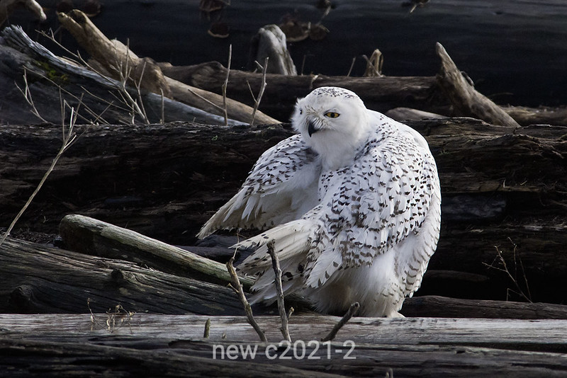 Snowy-owl-in-convoluted-grooming-position-3