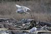 Snowy-owl-in-flight-1