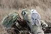 Snowy-owl-on-drift wood-1.