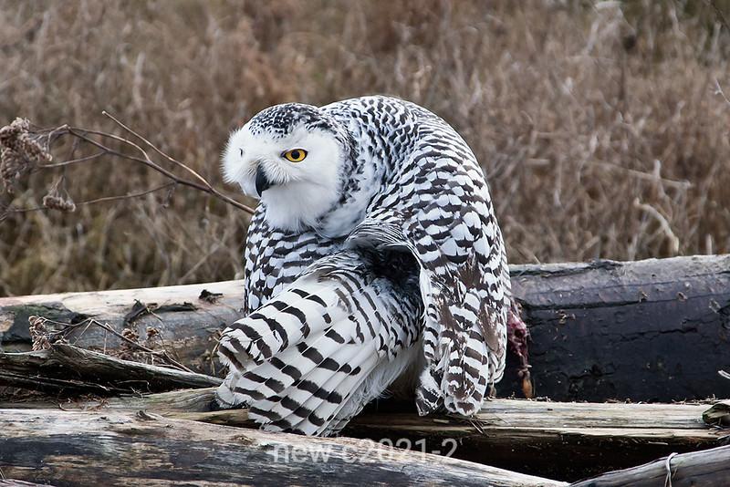 Snowy-owl-grooming-next-to-kill