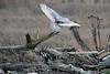 Snowy-owl-in-flight-3