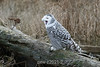 Snowy-owl-open-mouth-1
