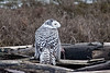 Snowy-owl-with-kill-5