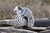 Snowy-owl-grooming -next-to-kill-3