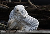 Snowy-owl-in-convoluted-grooming-position-1