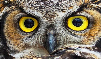 Great Horned Owl eyes, Dick Walker photo