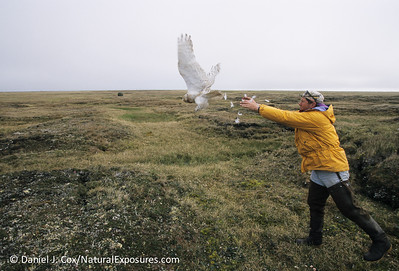 Denver Holt releases a Snowy Owl, Dan Cox photo