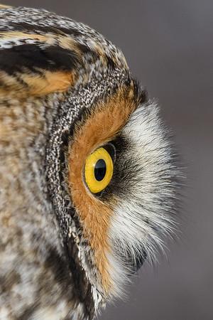Long-eared Owl, Jeff Hawk photo