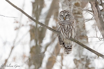 Barred Owl, Melissa Groo photo