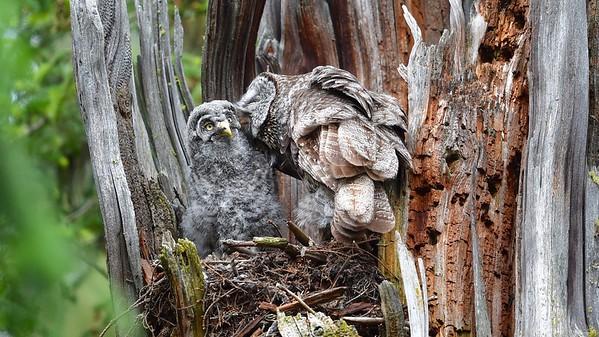 Gray Gray Owls, Kurt Lindsay photo