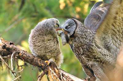 Great Gray Owls, Kurt Lindsay photo