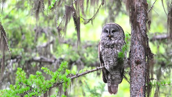 Great Gray Owl, Kurt Lindsay photo