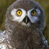 Snowy Owl Chick, Dan Cox photo