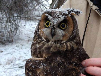 Wintry day on the Long-eared Owl research project