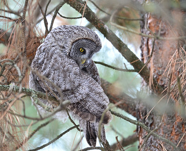 Great Gray Owl, Kurt Lindsay photo