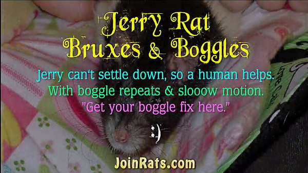 Jerry, an older rat who owns Karen Borga, isn't entirely comfortable snuggling on the couch with a human. Excerpts of his agitation show the human, Gwen, trying to find a place where he can relax and settle down. When he finally calms, he shows his pleasure with bruxes and boggles. Repeats and slow motion help viewers get their boggle fix for the day. :)