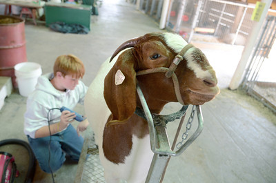 Jacob Weist, 10, Middleburg, grooms his goat, The Bachlorette, at the Beaver Springs Fair on Monday morning.